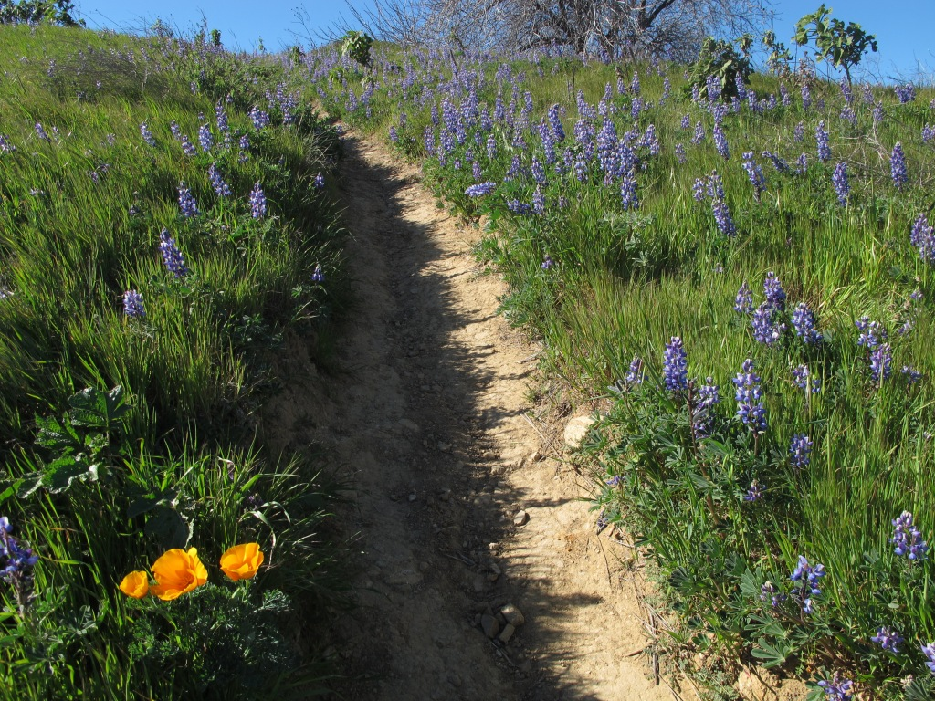 Lupine and California poppies.