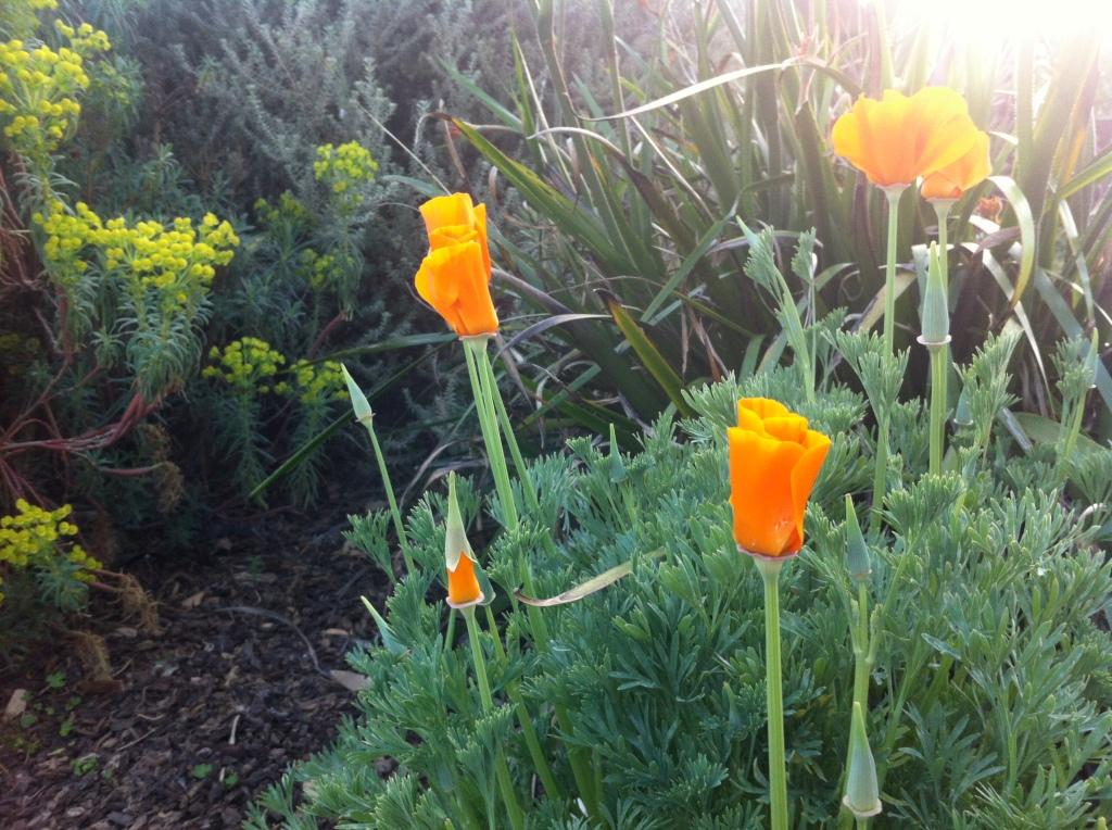 A neighbor's poppies.