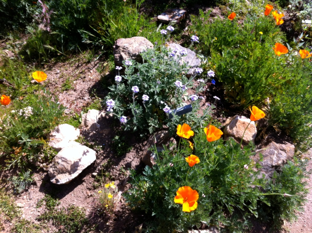 Poppies grow wild at the Theodore Payne Foundation.