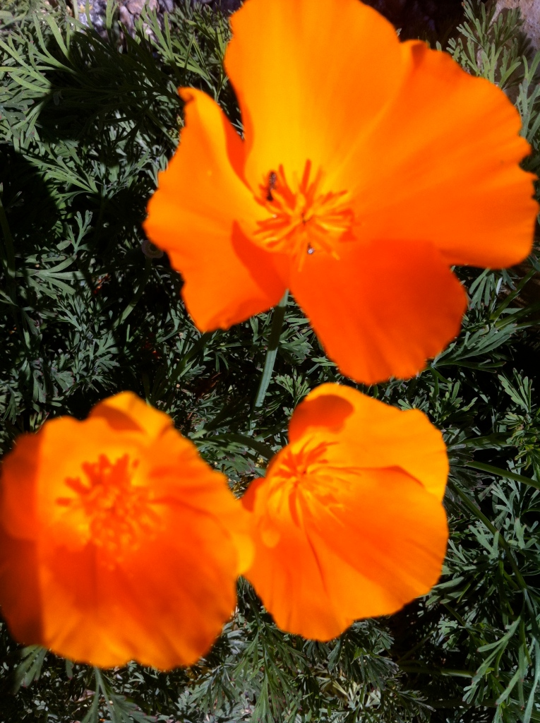California poppies at the Theodore Payne Foundation.